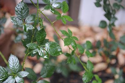 Berry bushe