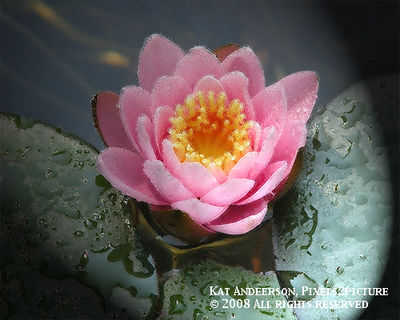 Water-lilly-1