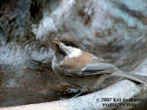 Chestnutbacked_chickadee