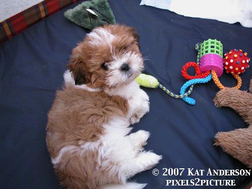 Webster_puppy