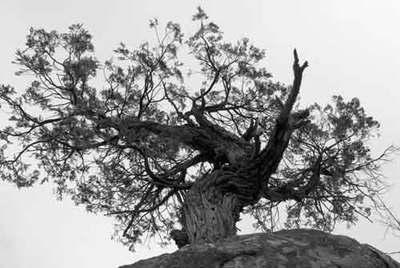 Bwyosemitetree
